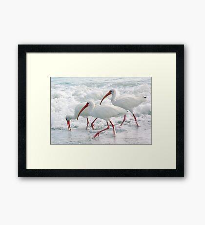 White Ibis in Foam Framed Print