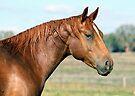 Magnificent Quarter horse by julie anne  grattan