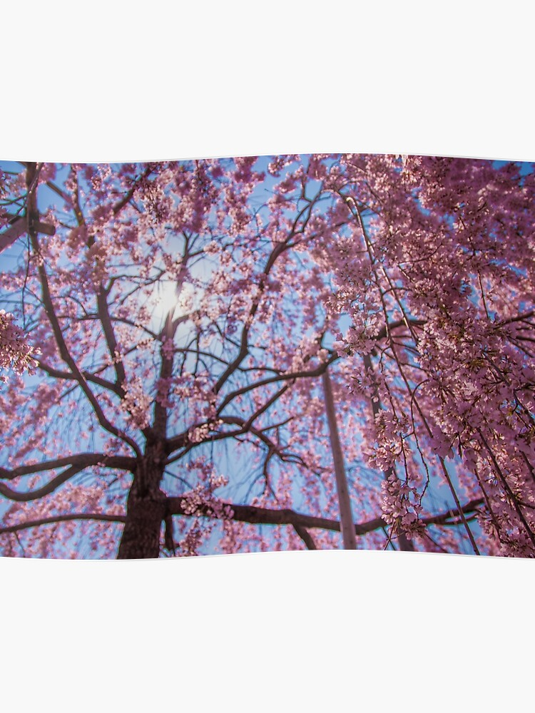 Weeping Sakura Cherry Blossom Tree From Japan Poster By Tokyolens