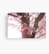 Sunset Sakura Cherry Blossoms in Japan Metal Print