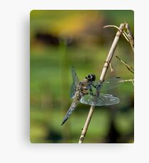 Four Spotted Chaser - Dragonfly Canvas Print
