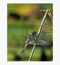 Four Spotted Chaser - Dragonfly Photographic Print