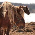 Older horse by Sean McConnery