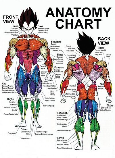 Anatomy Chart Muscle Diagram Photographic Prints By Fanou