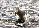 Swan Attack by Nigel Bangert