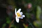 Spotlight on the Wood Anemone by Kasia-D