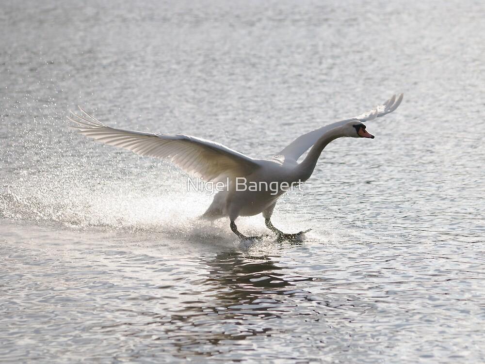 Swan Landing by Nigel Bangert