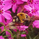 Bumblebee by Richard G Witham