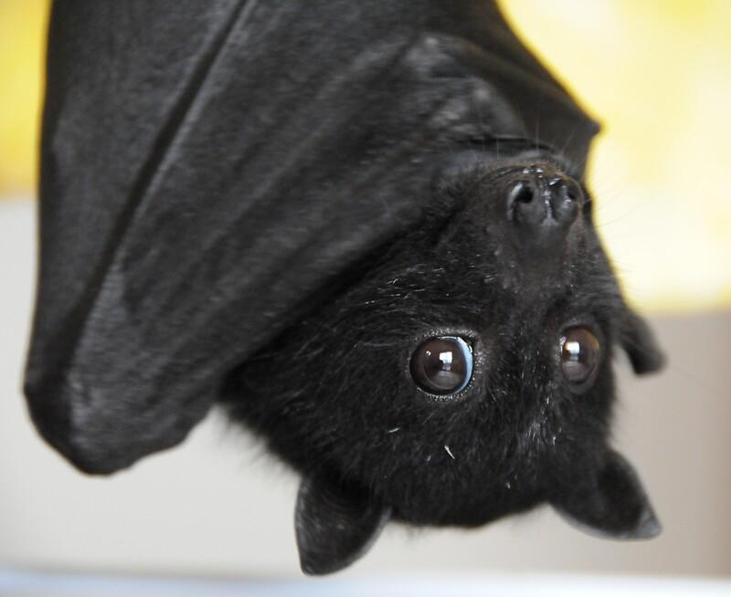 Quot Australian Infant Black Fruit Bat Quot By Ivanwillsau Redbubble