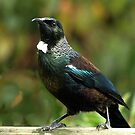 Tui in his regal pose........! by Roy  Massicks