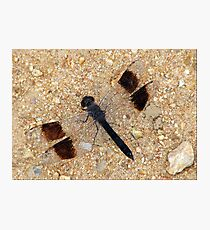 Banded Groundling Dragonfly Photographic Print