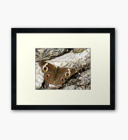 Butterfly ~ Common Buckeye Framed Print