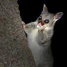 Hello Possum by Emjay01