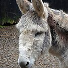 A Donkey from Clovelly by trish725