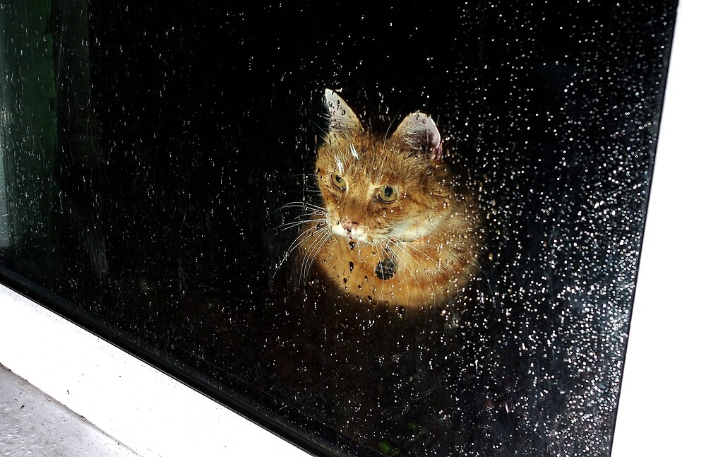 Ginger cat looking through rainy window by turniptowers