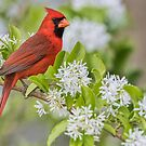 Male Northern Cardinal in Chinese Fringe Tree by Bonnie T.  Barry