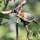 Golden-cheeked Woodpecker by Teresa Zieba