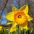 Daffodils in the Park by Van Coleman