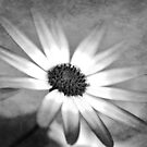 Black and White Senetti by Astrid Ewing Photography