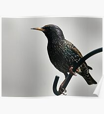 Starling in prime plummage Poster