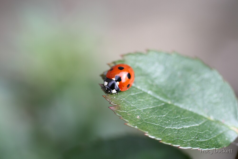 Lonely Ladybird by Tracy Duckett