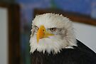 American Bald Eagle  by davesphotographics