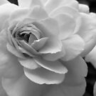Rose B&W by Amanda Diedrick