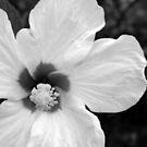White Hibiscus B&W by Amanda Diedrick