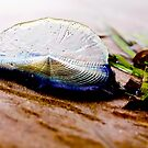 Velella Velella by Daogreer Earth Works