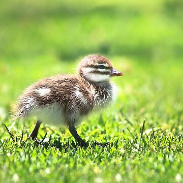 Rogue Duckling, Yanchep National Park by MADCAT