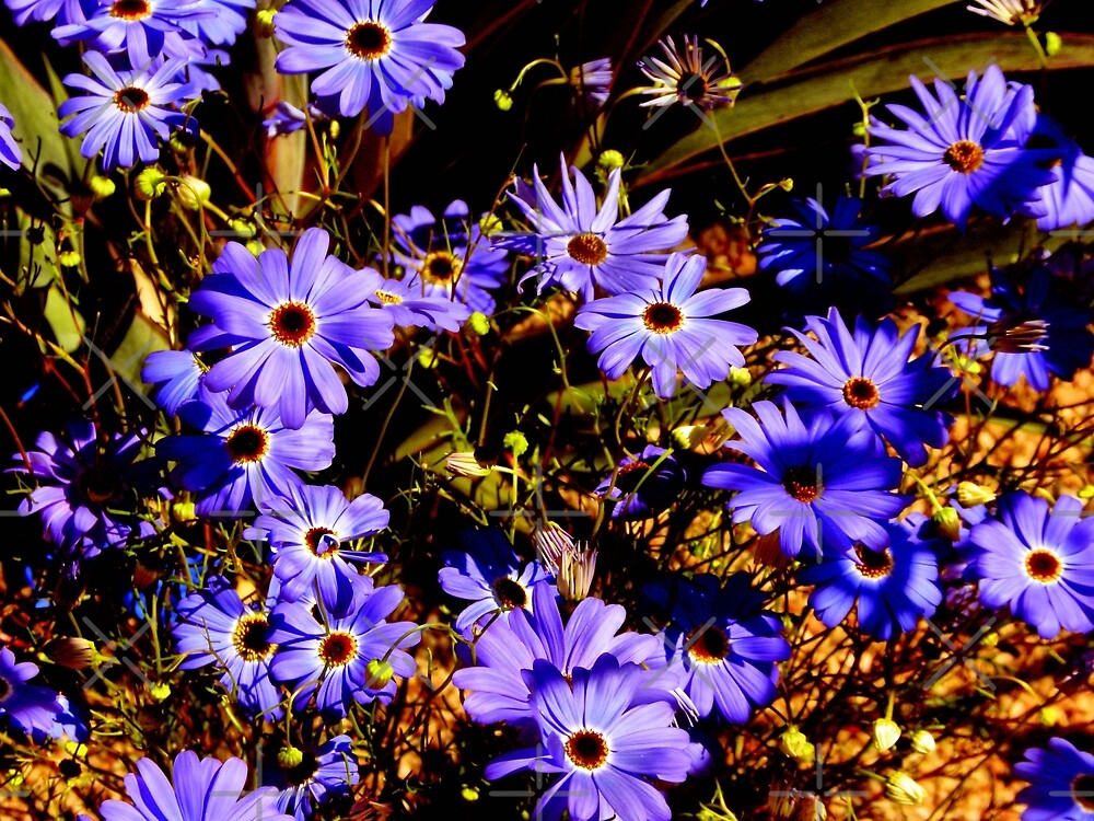 Purple Daisies Australian by TeAnne