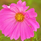 Pink Cosmo by Tracey Hampton