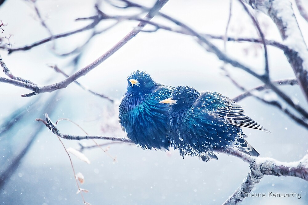 Starlings huddled together in a snow storm by Shauna Kenworthy