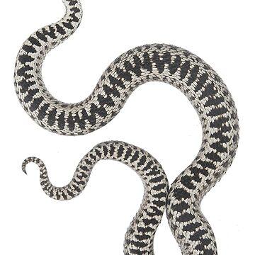 Vipera berus berus, male by ThorHakonsen