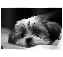 Quot Shitzu Maltese Mix Puppy Quot By Ryan Houston Redbubble