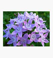 Purple Pentas  Photographic Print