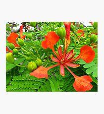Royal Poinciana Bloom  Photographic Print