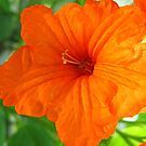Orange Flower by Amanda Diedrick