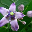 Giant Milkweed Purple by Amanda Diedrick