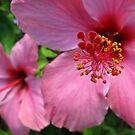 Pink Hibiscus  by Amanda Diedrick