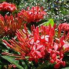 Red Ixora  by Amanda Diedrick