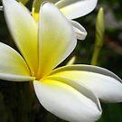 White Frangipani (Plumeria) II by Amanda Diedrick