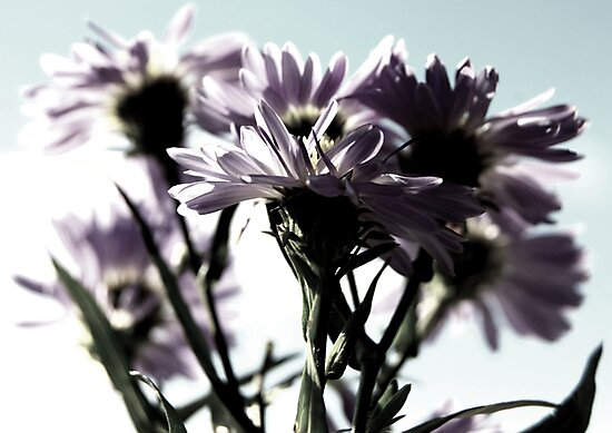 Purple Daisies by NJC Photography