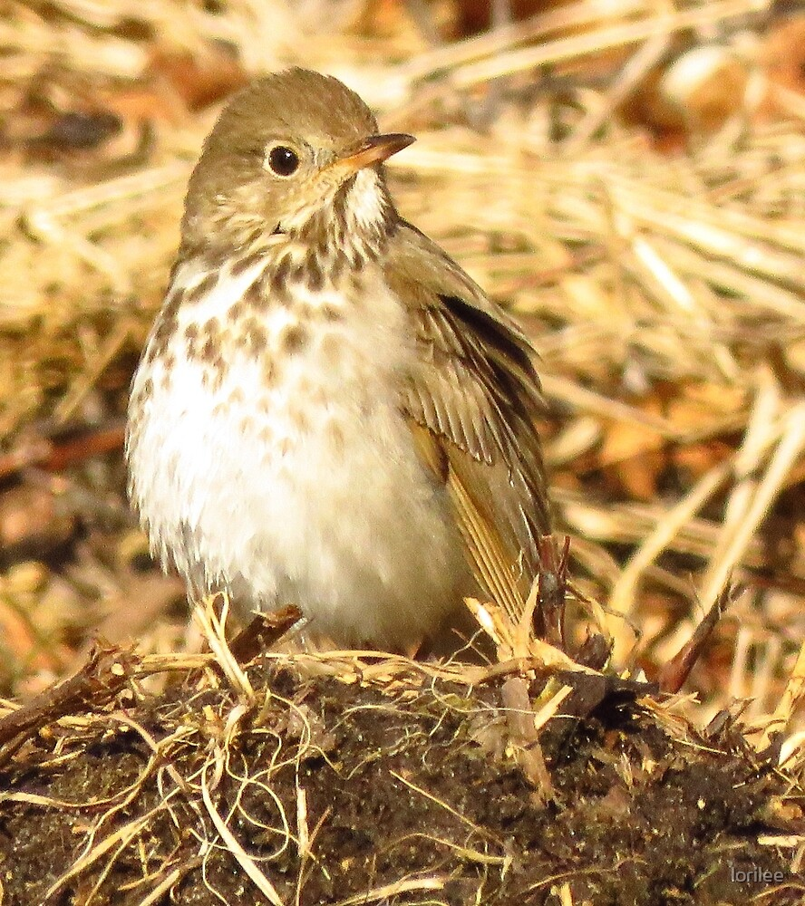 Hermit Thrush by lorilee