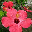 Red Hibiscus III by Amanda Diedrick