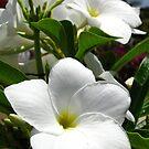 White Flower by Amanda Diedrick