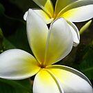 White Frangipani (Plumeria) III by Amanda Diedrick