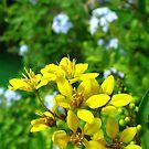 Yellow Pentas  by Amanda Diedrick