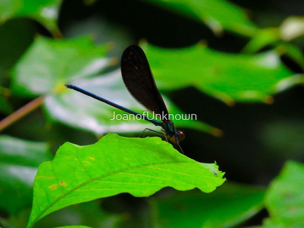 Caloptreyx maculata by JoanofUnknown