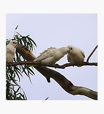 ''JUST A LITTLE KISS!' Little Corella's, Mannum Sth. Australia. Photographic Print